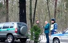 В Гусевском районе задержали члена организации «Зеленая Балтия» с незаконно срубленной елью