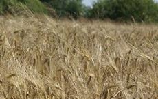 В Гусевском городском округе началась уборка ранних озимых зерновых культур
